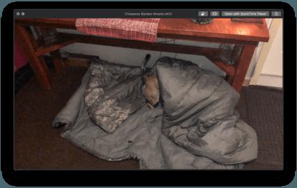 Chiweenie Blanket Wrestle Video